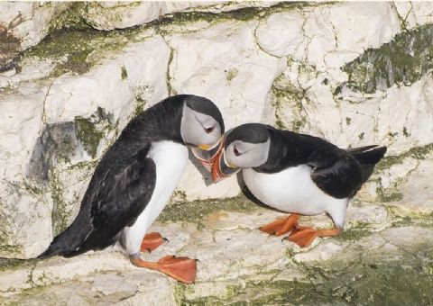 Springtime on the Cliffs Puffin Pair Greetings Card
